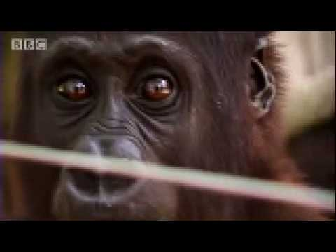 Will Young meets orphaned baby gorillas & illegal bush meat - Saving Planet Earth - BBC
