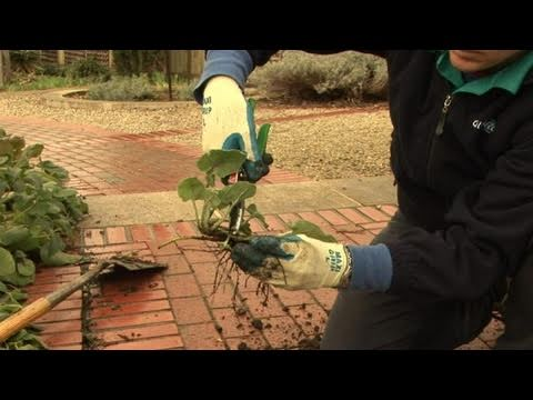 How To Separate Herbaceous Perennials