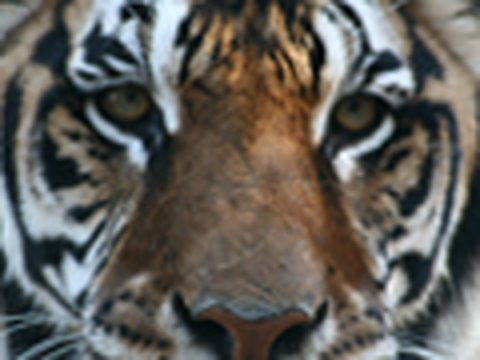 Feeding 23 TIGERS, LIONS & LIGER!