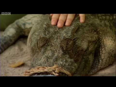 Close encounter with a Siamese Crocodile - Saving Planet Earth: Crocodiles - BBC