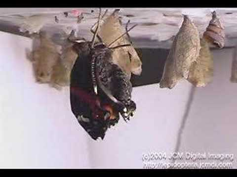 Red Admiral Butterfly emerges and expands wings (time lapse)