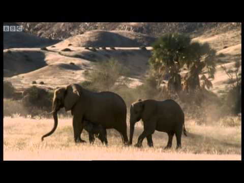 Meet the elephant calves of the Namib Desert - BBC