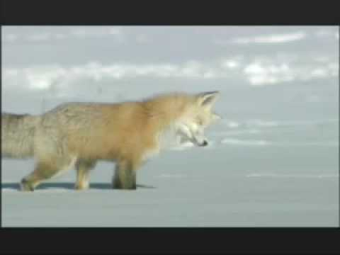 "NATURE ""Christmas in Yellowstone"" 