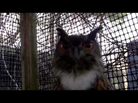 My Eagle Owl - Big Owl Capone