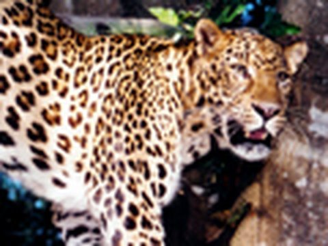"AMUR LEOPARD ""Almost Extinct""- Big Cat TV"