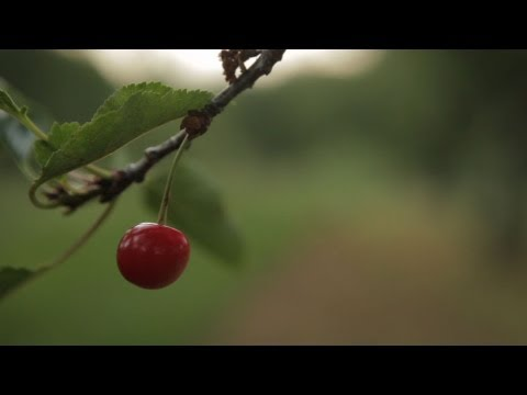 A Sour Season for Michigan Cherry Farmers