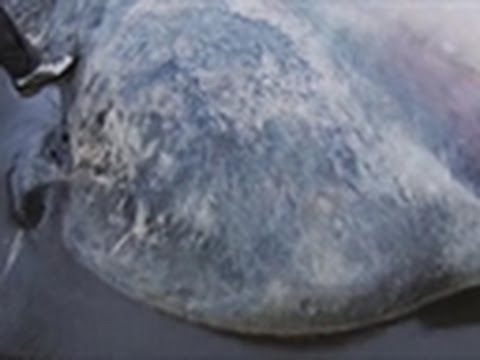 Man vs. Wild - Dead Sperm Whale Stench