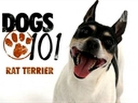 Dogs 101- Rat Terrier