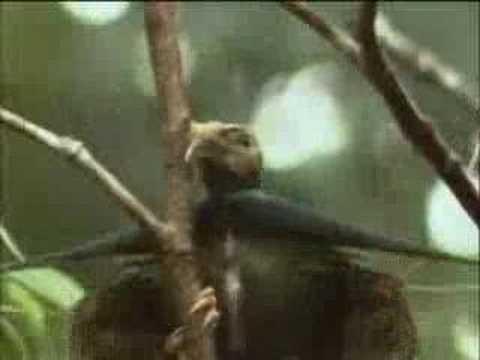 Birds of paradise flock in one tree - David Attenborough - BBC widlife