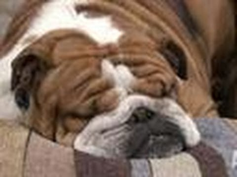 World's Sleepiest Dog | Bad Dog!