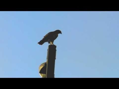 www.RustyJohnson.tv - Territory scrap over a light post - two red tailed hawks