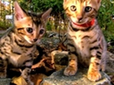 Too Cute!- Bengal Kittens Explore Their World