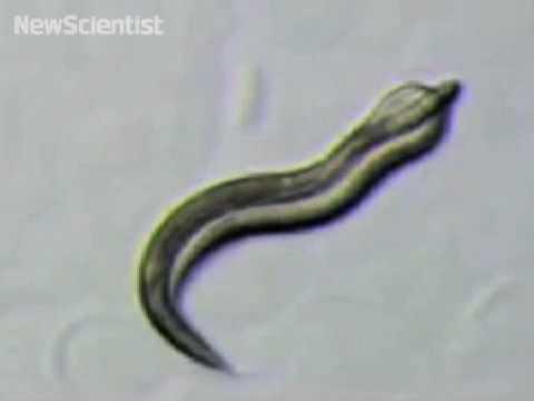 'Worm porn' video shows details of nematode sex