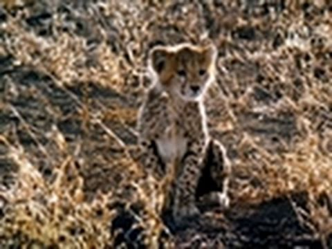 Wild Kingdom- Hyena Steals Cheetah Kill