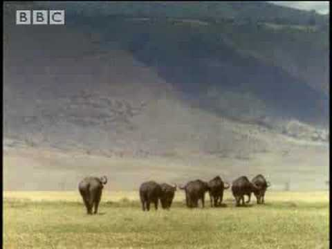 BBC: Lion Hunts Buffalo - 5 Big Cats and a Camera