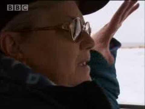 Polar bears playing - BBC wildlife