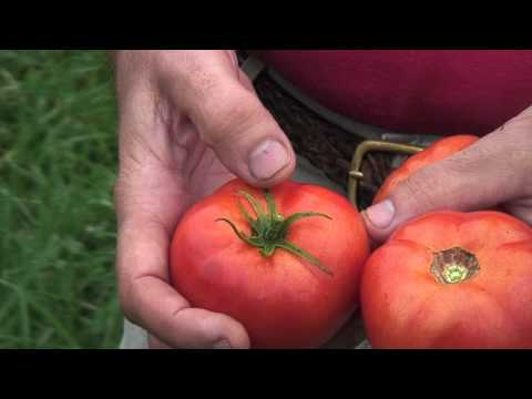 How to Tell When Tomatoes Are Ripe for Picking