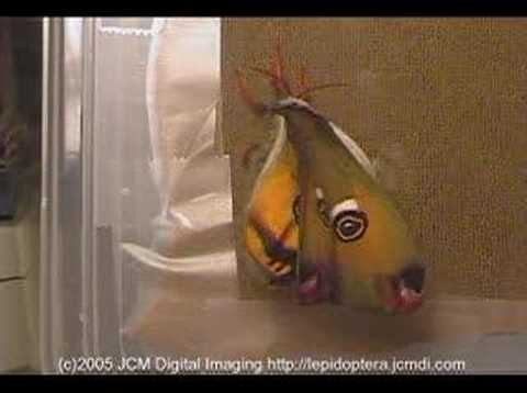 Mendocino Silk Moth expands wings (time lapse)