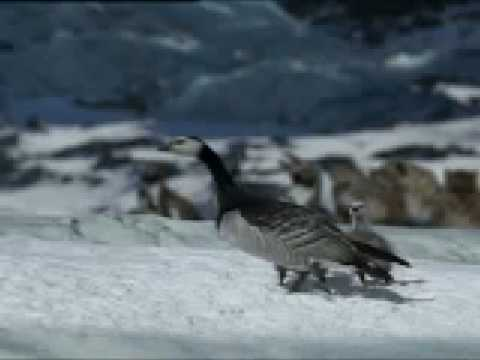 Baby goose does the high jump - BBC animation