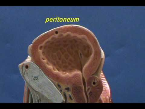 Male Reproductive Model - Upright Model - Skeletal Muscles & Urinary Bladder.avi