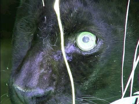 BLACK LEOPARD - Eye Surgery!