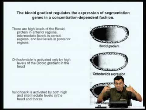 Mod-07 Lec-24 Gene Regulation during Drosophila Development