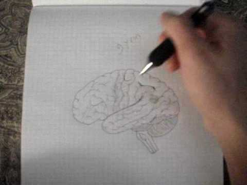 Neuroanatomy Tutorial 10 (Brain)