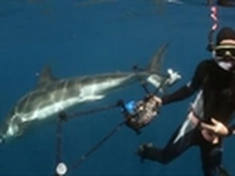 Shark Week 2011- Free Diving With Great Whites