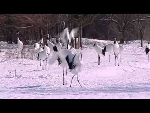 The Coolest Stuff On The Planet: The Dancing Cranes of Hokkaido