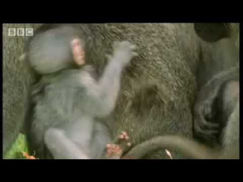 Cute baby monkeys at play - Cheeky Monkey - BBC wildlife