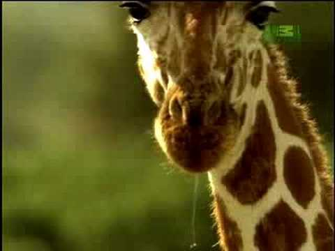 Fooled by Nature - Giraffe's Blue Tongue