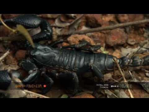 Giant scorpion ventures out in the rain