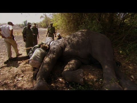 War Elephants: Biggest Cameraman In History