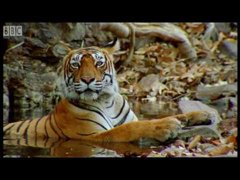 Cute cubs and population tracking - Tigers - BBC Earth