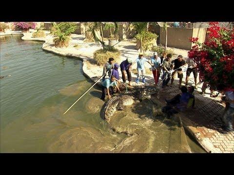 Python Hunters - Enormous Hybrid Croc