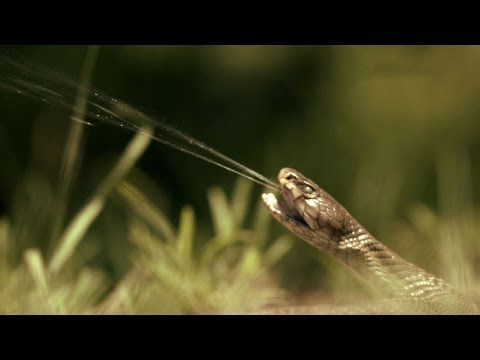Deadly spitting snake in slo-mo: Wild Warp episode 4