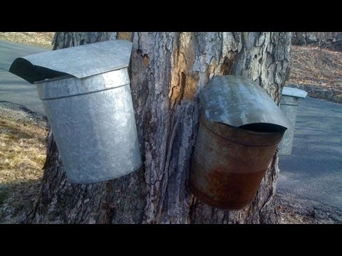How to Tap Maple Trees for Maple Syrup GardenFork.TV