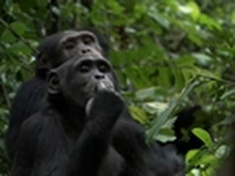 Life - Filming Chimpanzees | The Making of Life