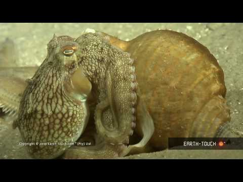 Octopus VS starfish and huge hippos at sunset