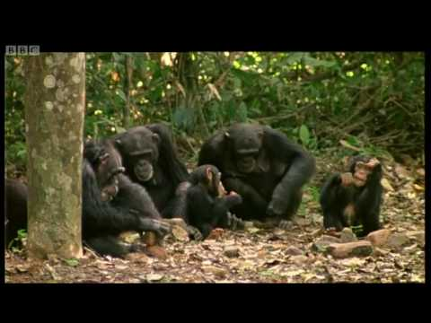 Human and primate relationship - Cousins - BBC