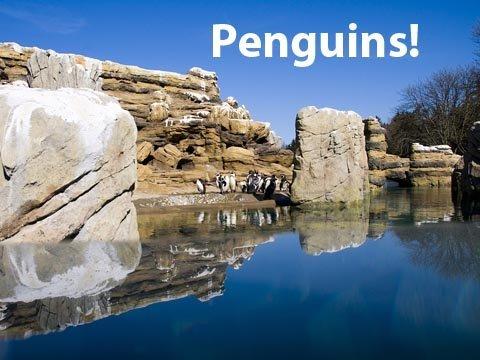 Penguins! Penguins! Penguins! at Woodland Park Zoo