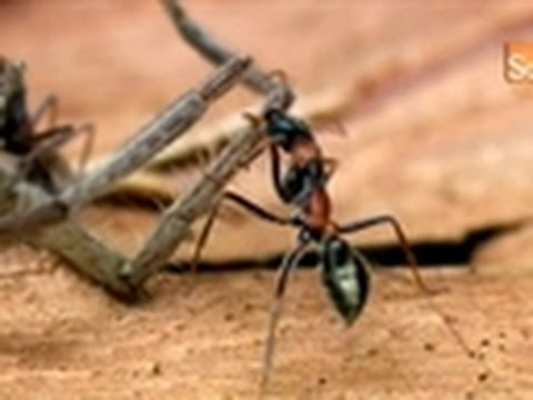 Monster Bug Wars- Jumping Jack Ants vs. Huntsman Spider
