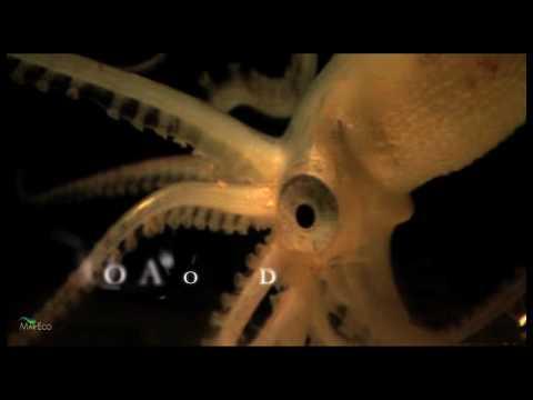 Piglet Squid, Other Bizarre Species Found