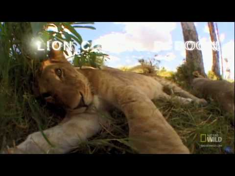 Lion Cubs' Humiliation