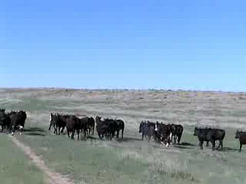 Cattle Rustling on the Kansas-Nebraska Line!