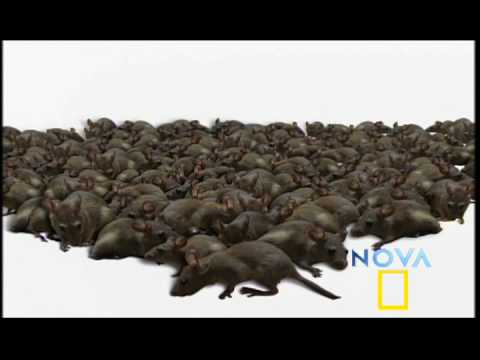 NOVA | Rat Attack! | PBS