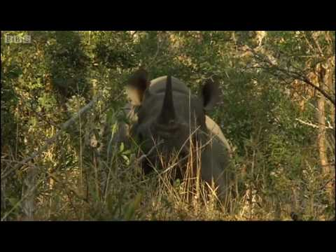 Encounters with rhinos part 2 - BBC