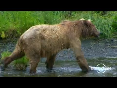 Alaska's Kodiak bears - Lonely Planet travel video