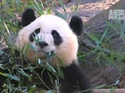 Wild Kingdom- A Panda's Trip to China