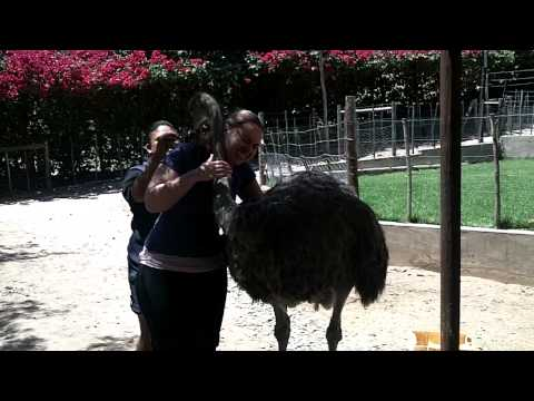 More ostriches!